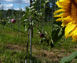 applesunflowercrop
