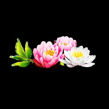 —Pngtree—beautiful lotus flowers_702909-
