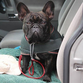 French Bulldog (Female)