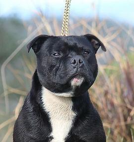 French Bulldog (Male)