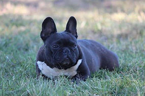 FRENCH BULLDOG (FEMALES)
