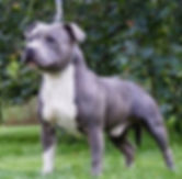 STAFFORDSHIRE BULL TERRIORS (MALES)