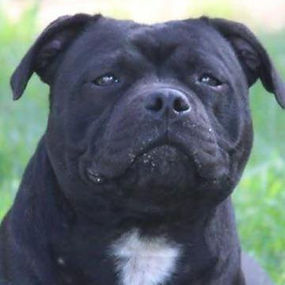 STAFFORDSHIRE BULL TERRIORS (FEMALES)