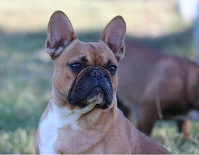 FRENCH BULLDOGS (FEMALES)