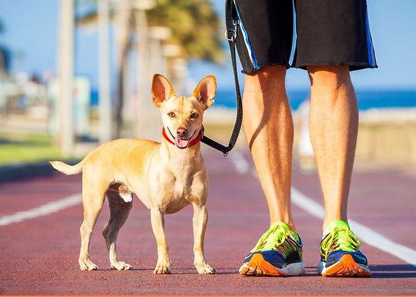 Orange Chihuahua Athlete Dog Walker Flye