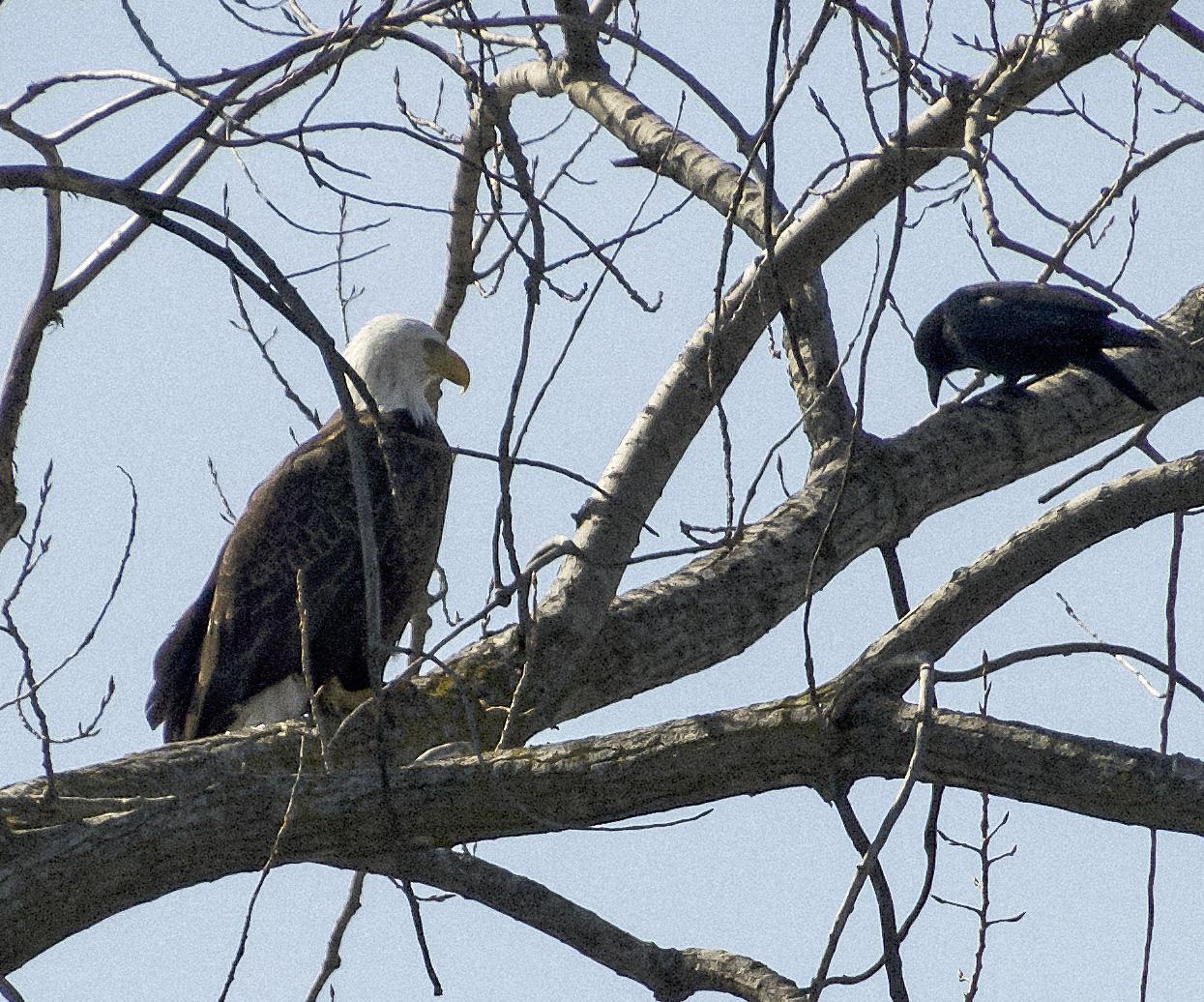 Bald Eagle, Onondaga Lake
