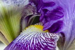 Iris Signal