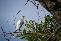 Great White Egret, Montezuma