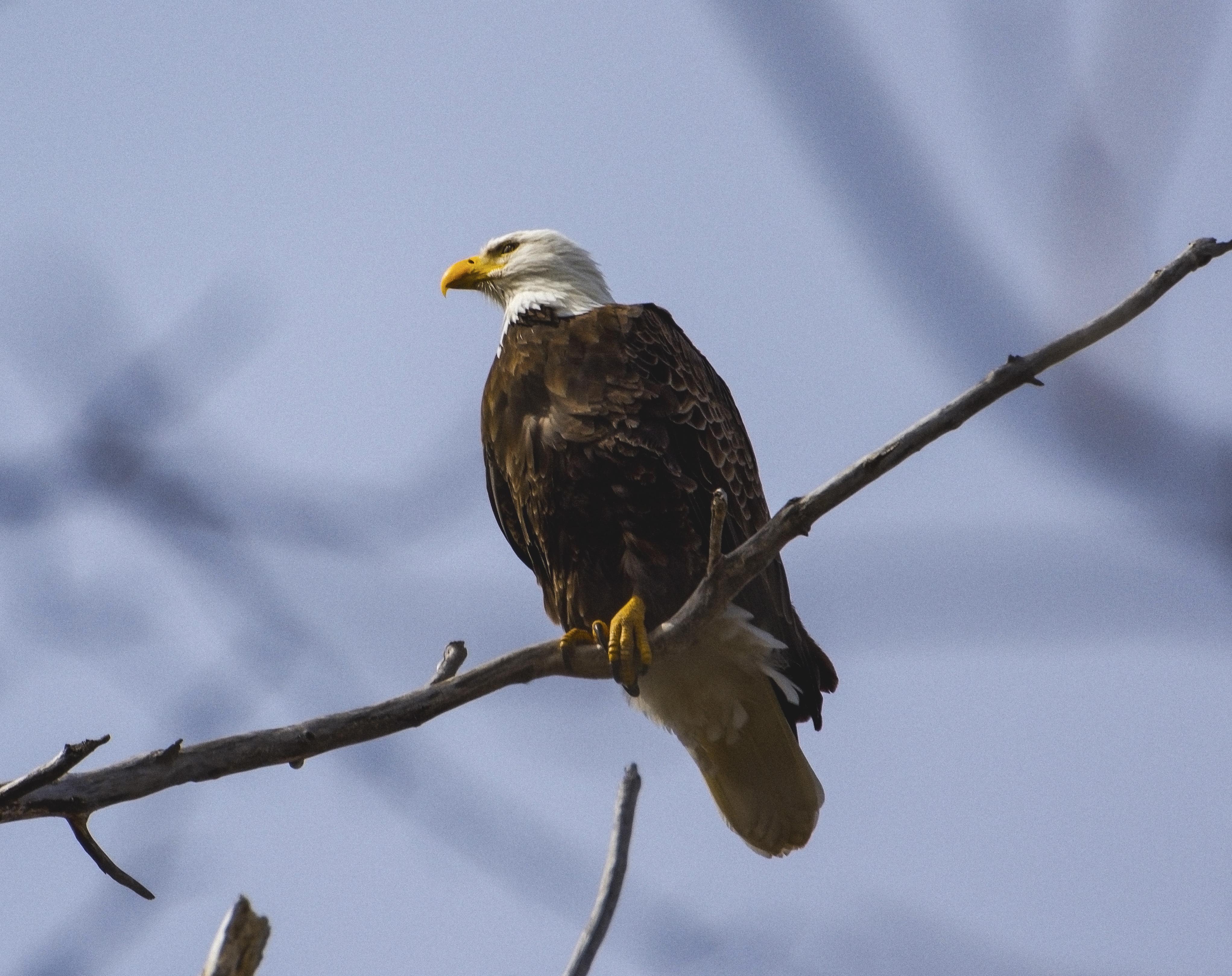 Eagle, Cayuga Lake