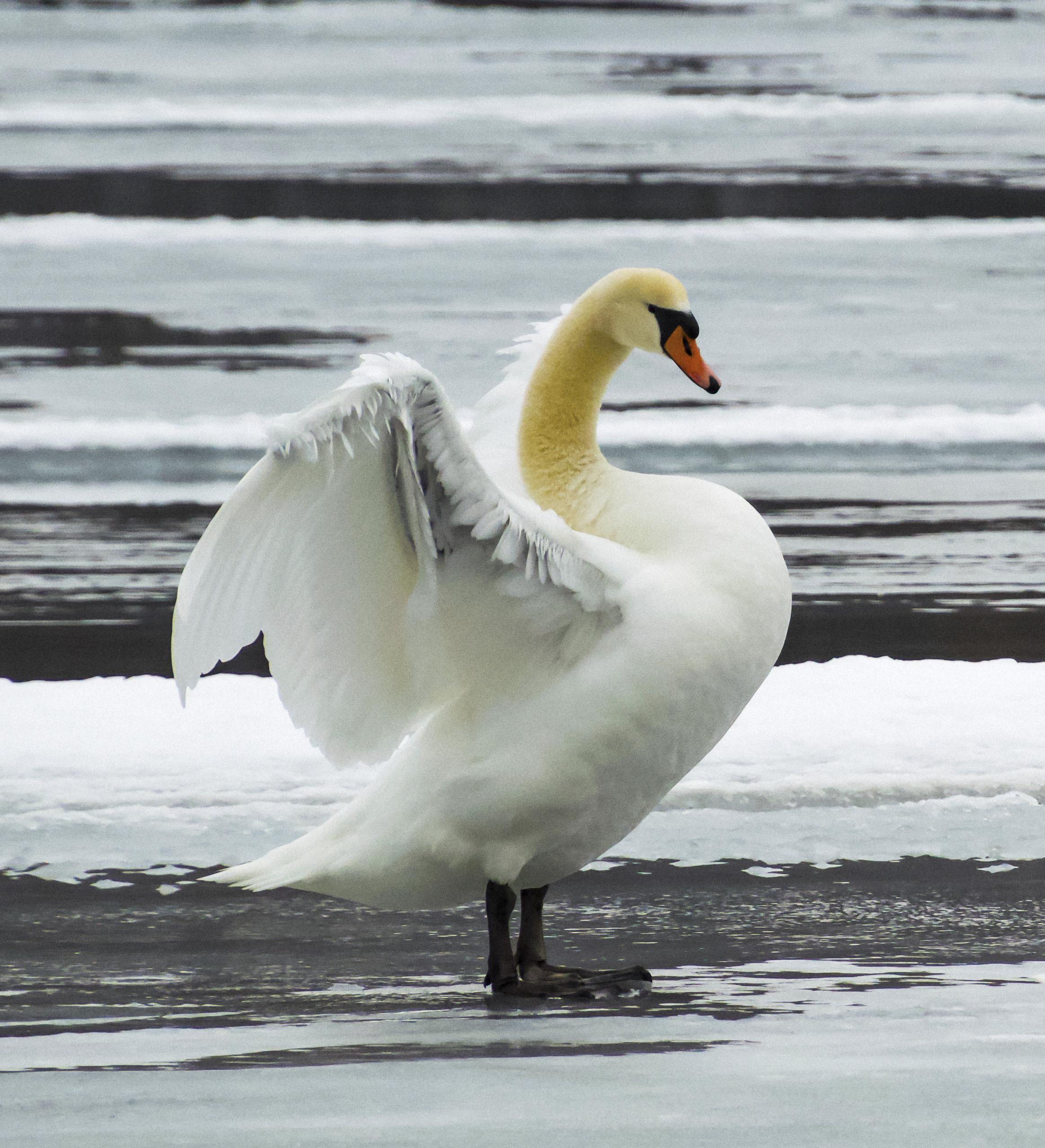 Mute Swan, Irondequoit, NY