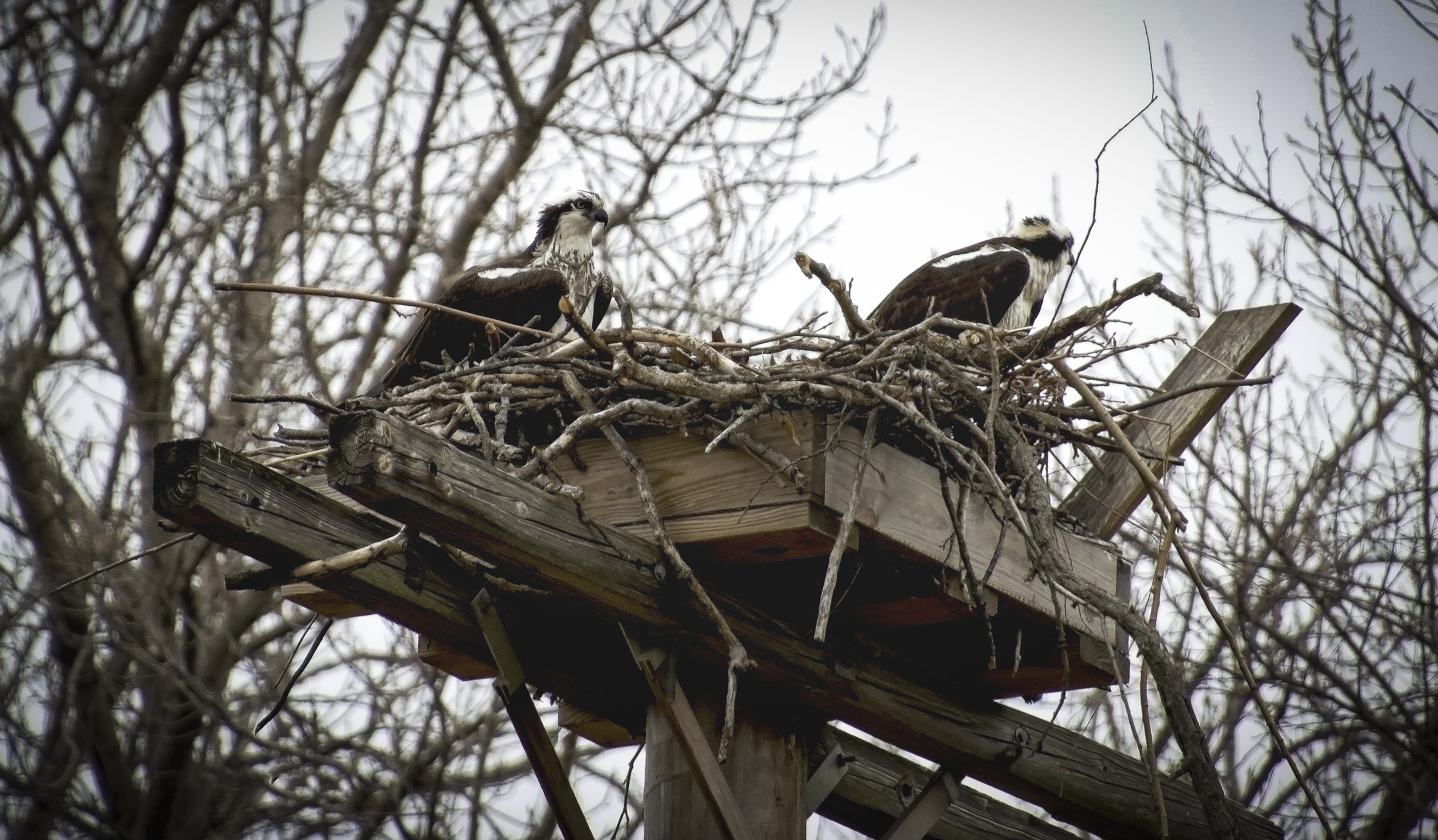 Osprey Nest, Stewart Park
