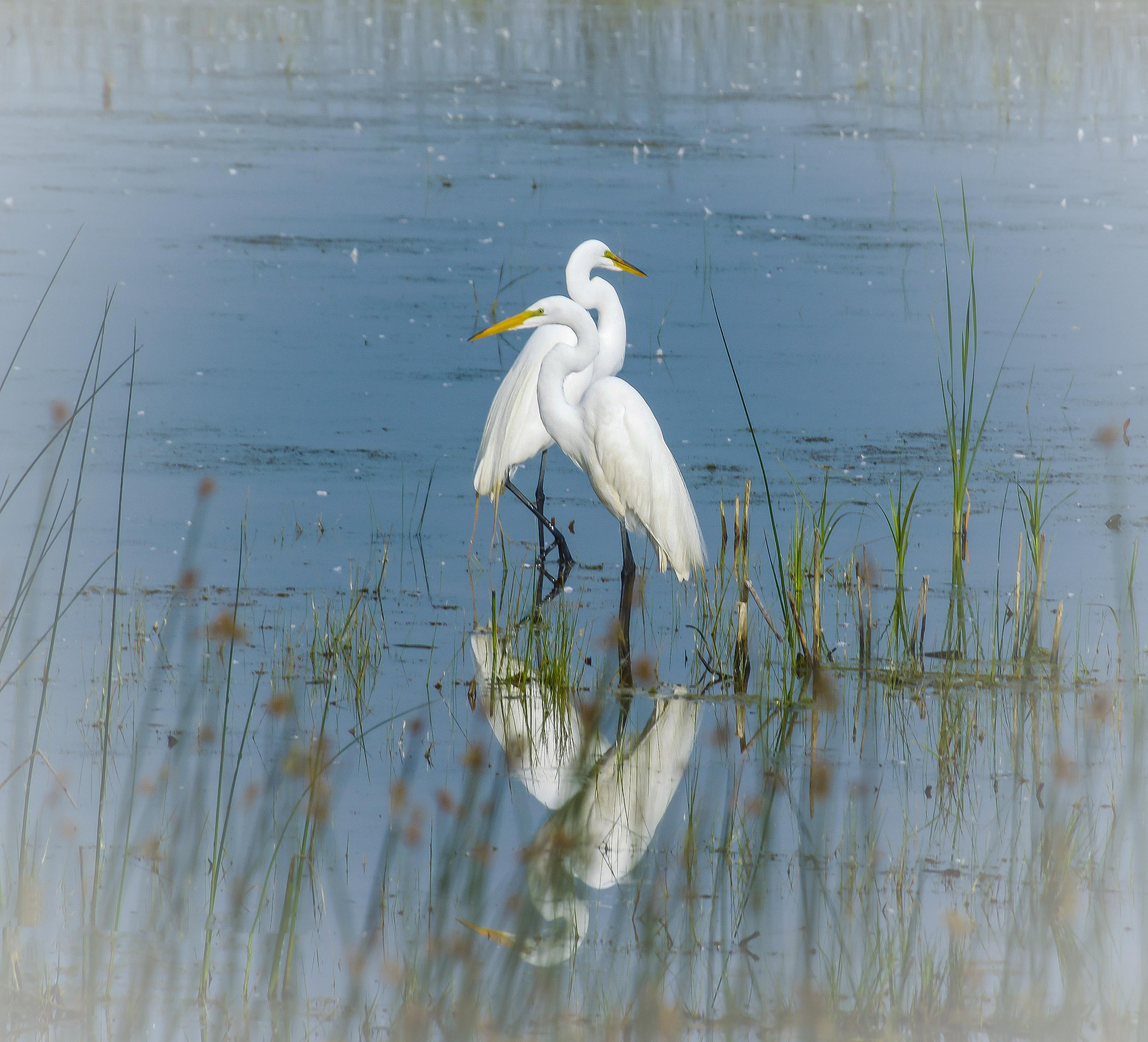 White Egrets, Montezuma Refuge