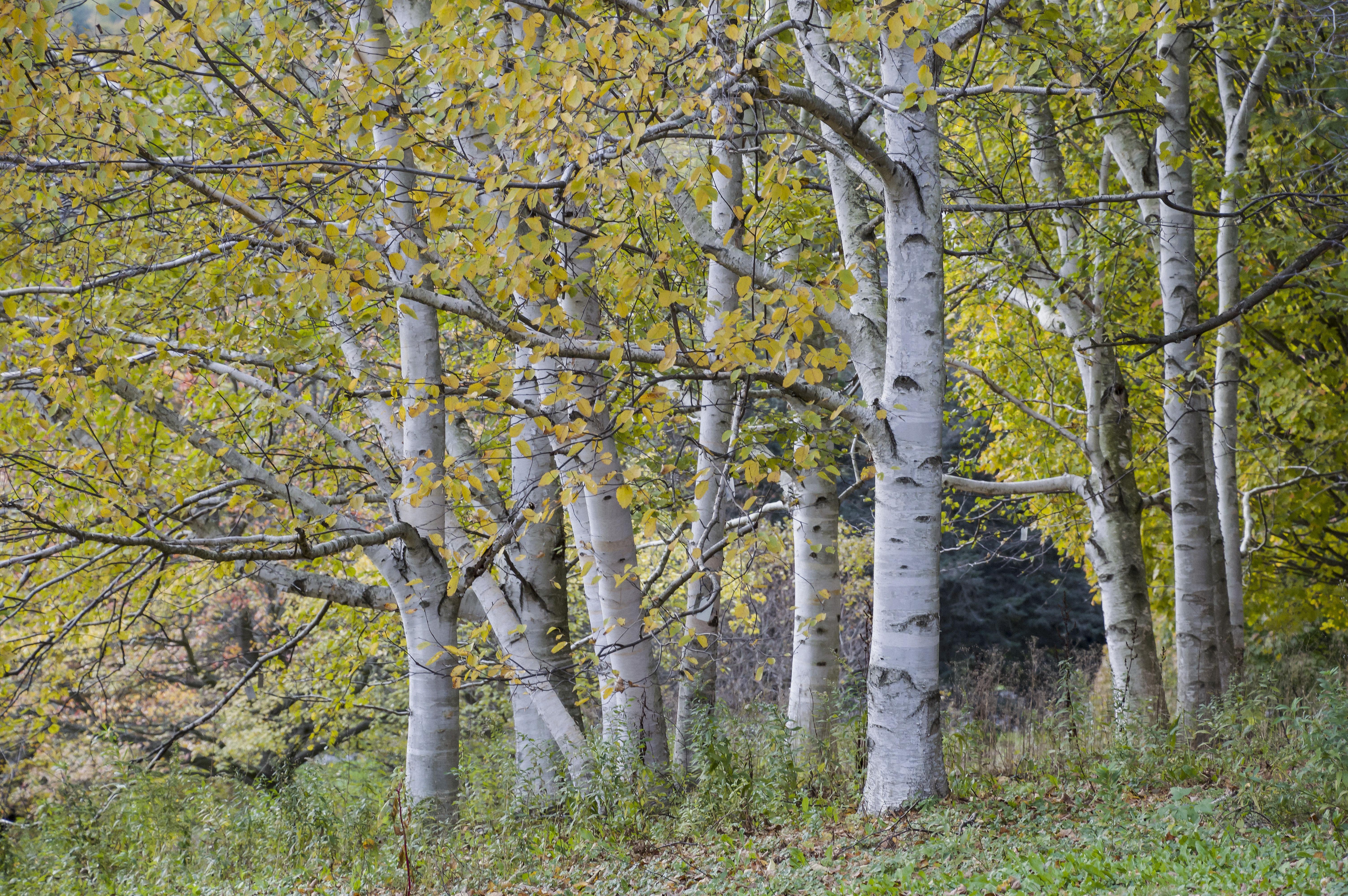 Cornell Botanic Gardens, The Birches