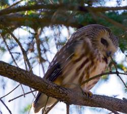 Saw-Whet Owl, Braddock Bay