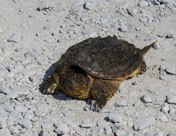 Turtle, Montezuma