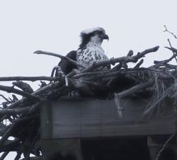 Osprey, Cass Park, Ithaca