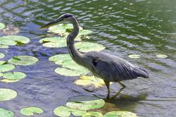 Blue Heron, Stewart Park