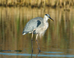 Blue Heron, Montezuma Refuge