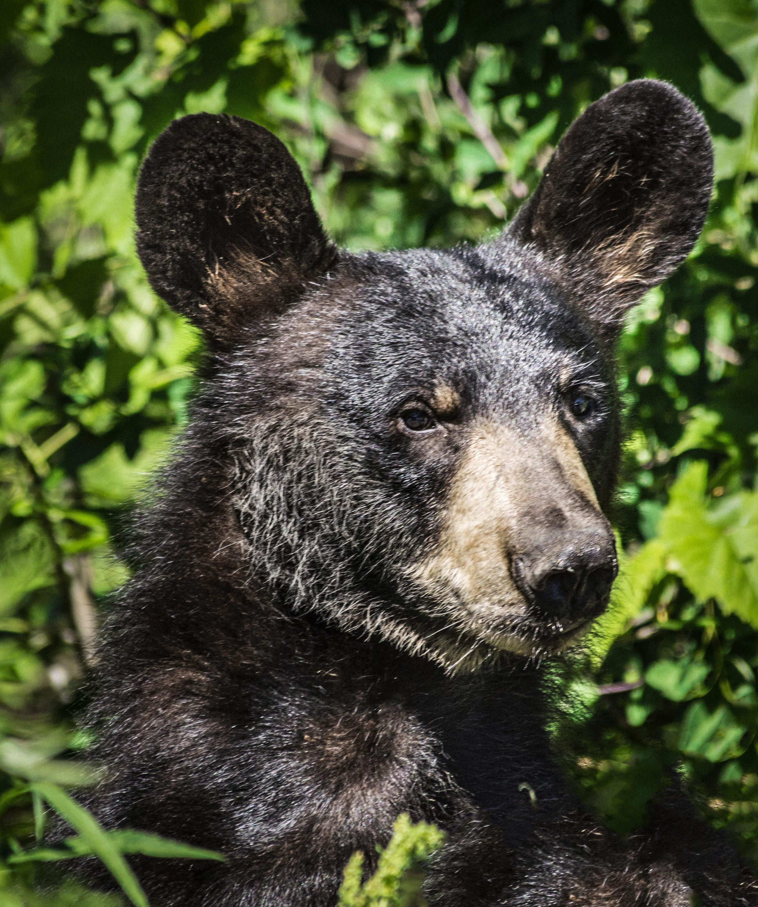 Black Bear, Ithaca, NY