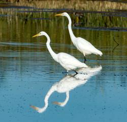 Great White Egrets, Montezuma