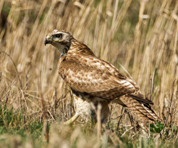 Red-Tailed Hawk, Montezuma