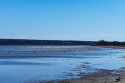 Snow Geese Migration, Cayuga Lake