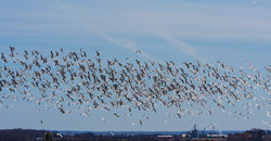 Snow Geese, Romulus, NY
