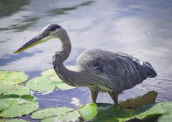 Blue Heron, Stewart Park Lagoon