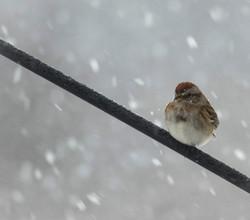 Sparrow on Feeder Bracket