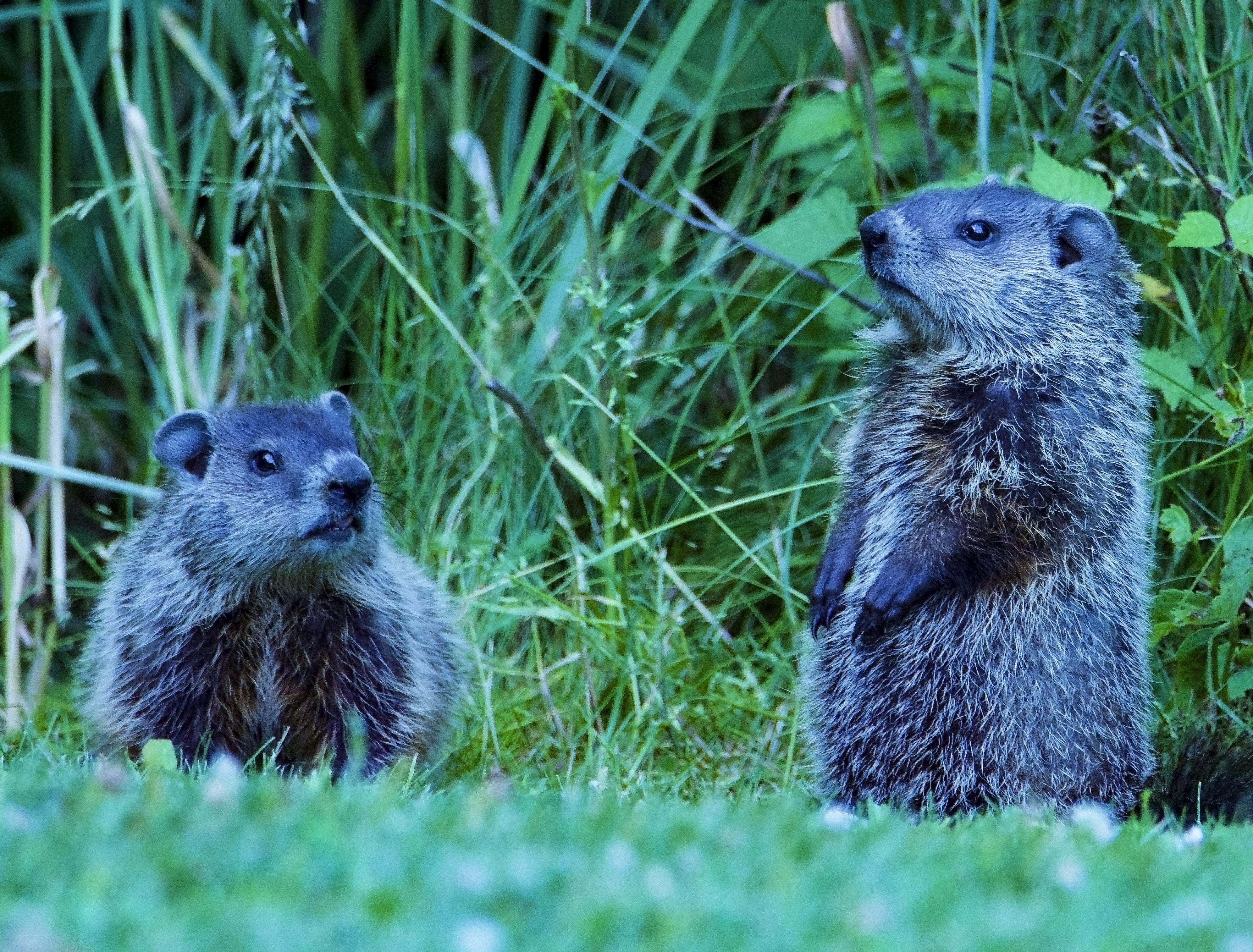 Groundhogs 2020