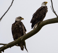 Sub adult and adult Bald Eagles, Montezuma 4-2020