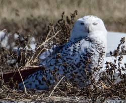 Snowy Owl, Finger Lakes Region