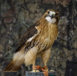 Red Tailed Hawk, Raptor
