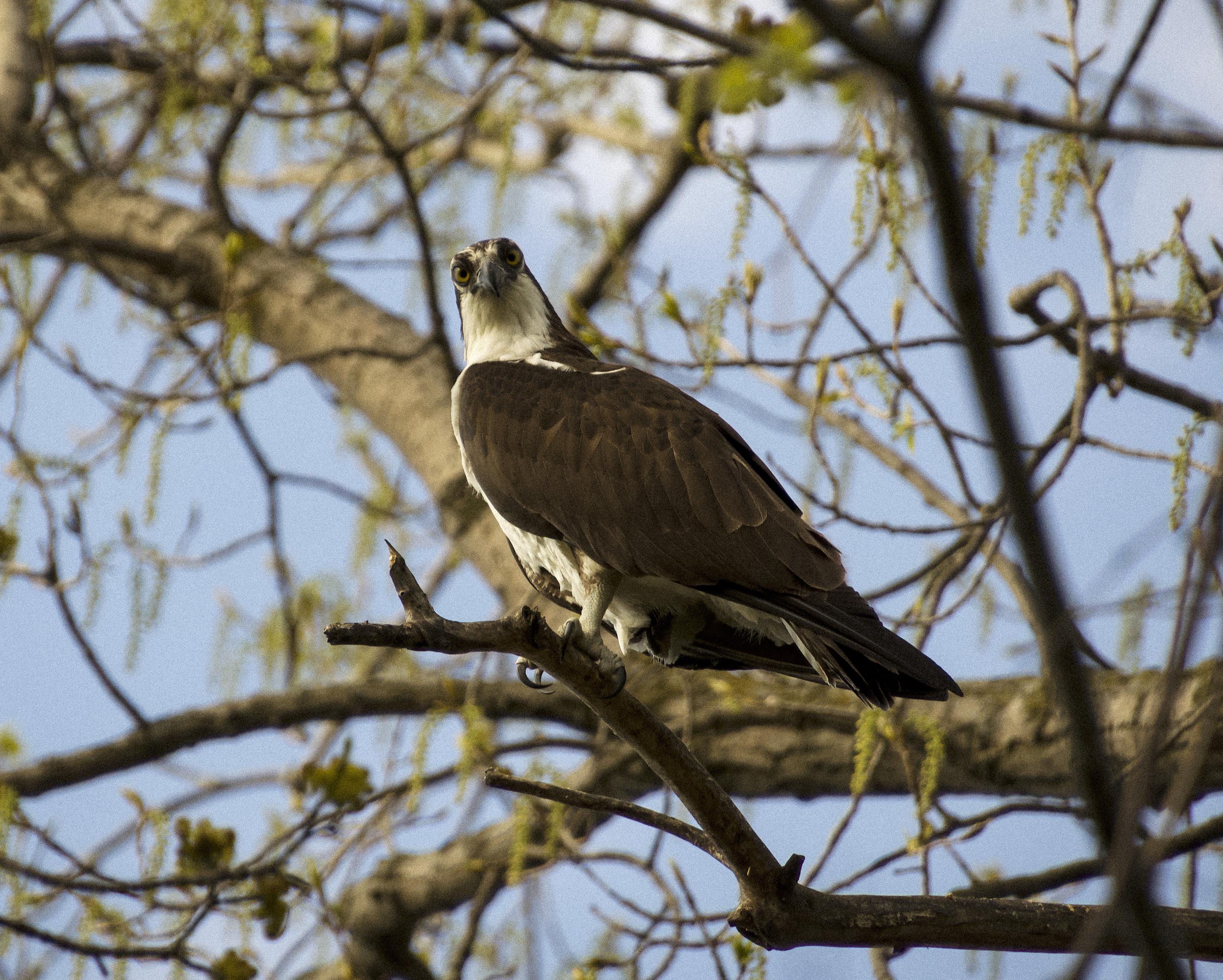 Osprey, Stewart Park, Ithaca