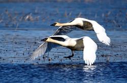 Swans, Montezuma