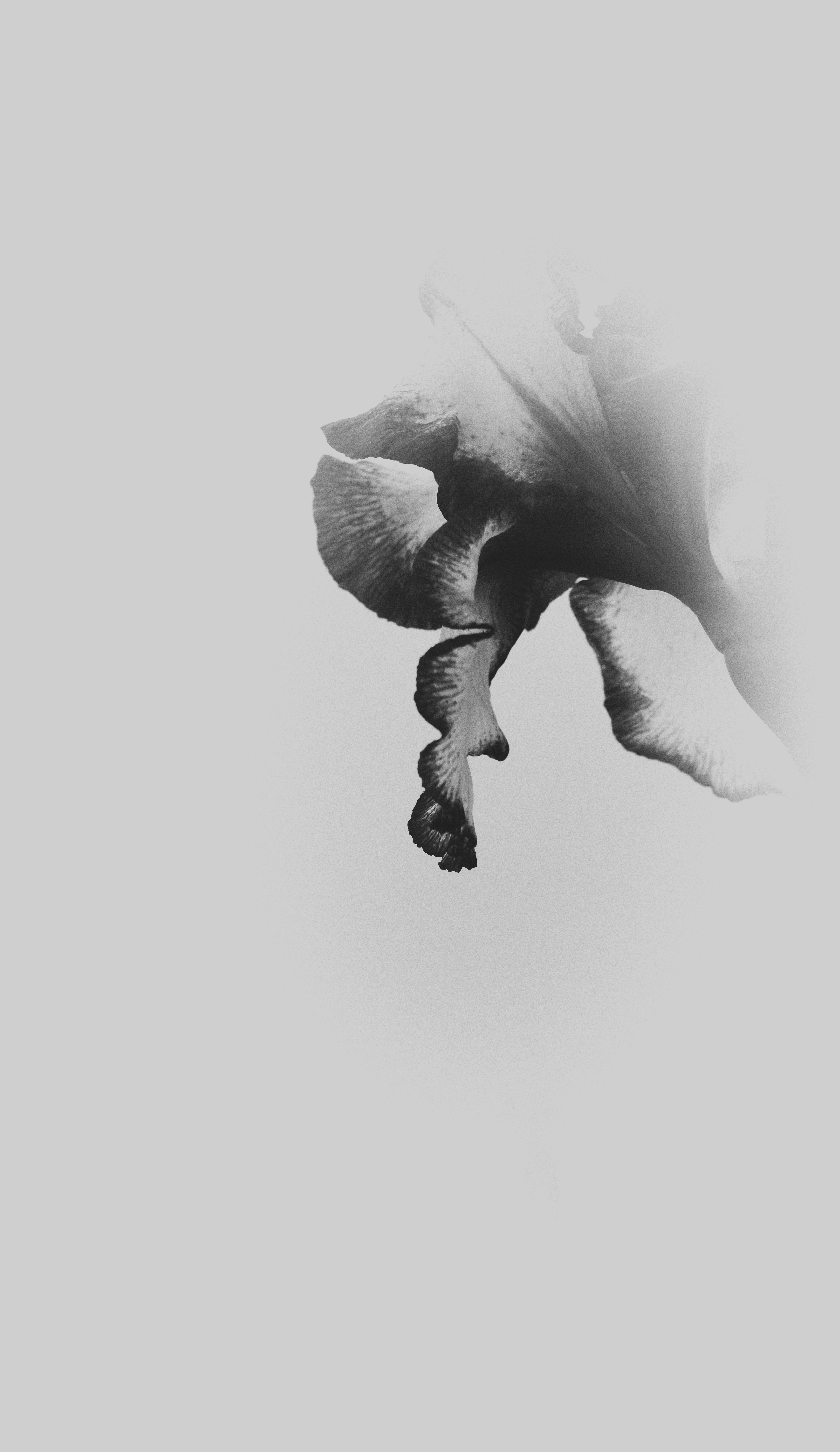 Iris in Fog