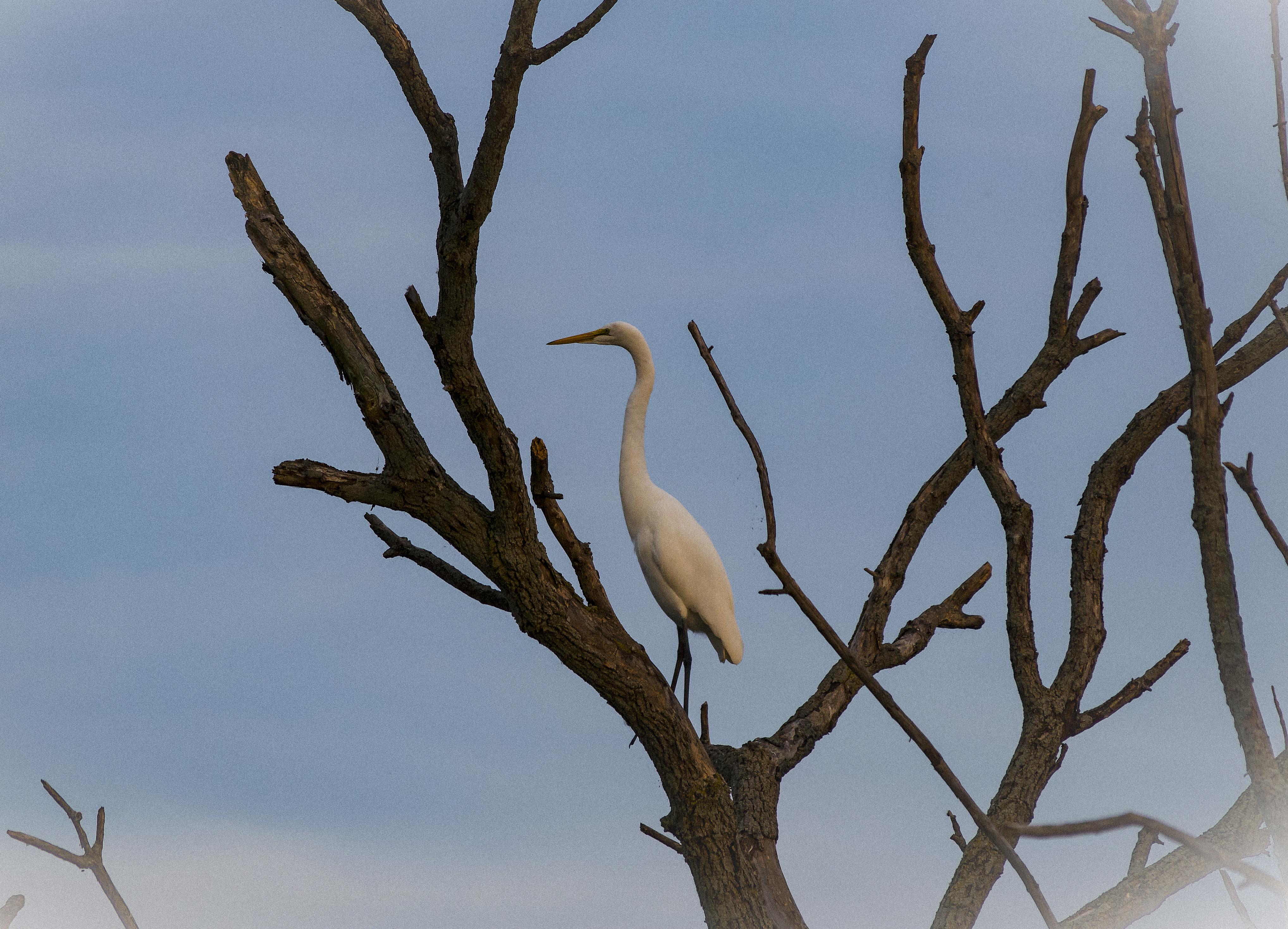 White Egret, Montezuma