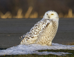 Snowy Owl of The Finger Lakes