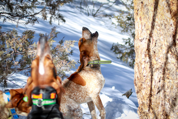 Lobo Outfitters, Mountain Lion Hunting