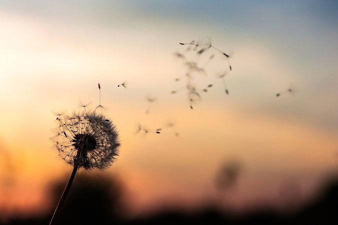coucher-soleil-pissenlit