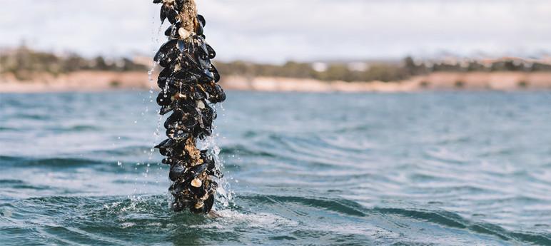 Kinkawooka Mussels