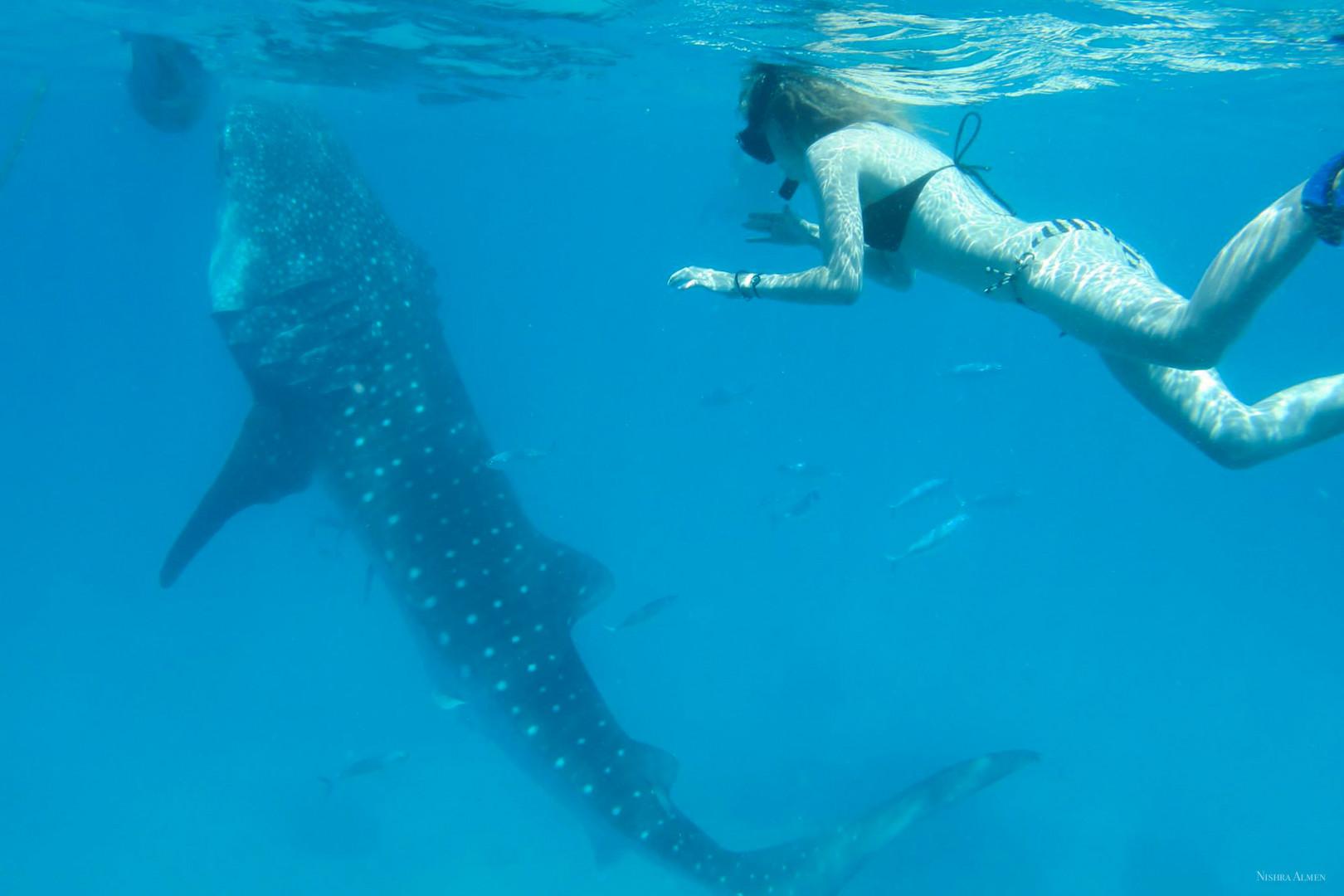 Pleione whaleshark