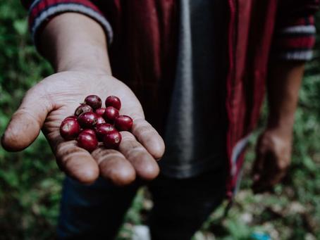 Sự tiến bộ của Thái Lan trong sản xuất cà phê đặc sản