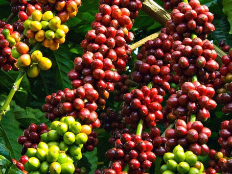 NGUỒN CUNG CẤP SPECIALTY COFFEE