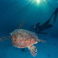 Wilson Island - Green Turtle