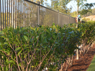 Hedging & Shaping trees & shrubs