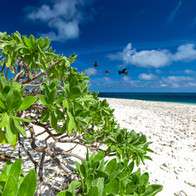 Wilson Island - Pisonia