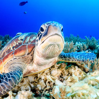 Turtle on the Southern Great Barrier Reef