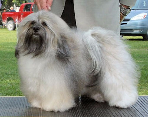 Ashstone Havanese, A Premiere Breeder of Best in Show Winning Havanese in Canada