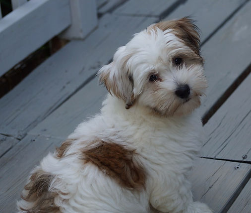 Havanese Puppies for sale in Ontario, Canada